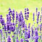 Healing powers of Lavender