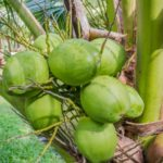 Four benefits of coconut water