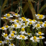 3 of my favorite uses for Chamomile